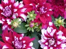 Il crisantemo rosso fiorisce la priorità bassa Fotografie Stock Libere da Diritti