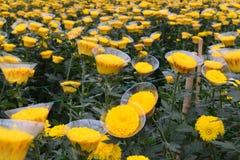 Il crisantemo sta fiorendo nella serra nel Vietnam Fotografia Stock