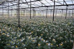 Il crisantemo sta fiorendo nella serra nel Vietnam Immagine Stock