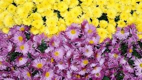 Il crisantemo variopinto fiorisce il bello fondo Fotografie Stock Libere da Diritti