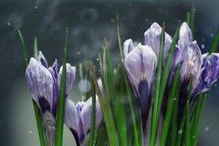 Il croco blu fiorisce la molla Fotografia Stock Libera da Diritti
