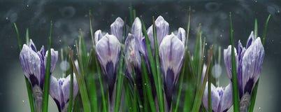Il croco blu fiorisce la molla Fotografie Stock Libere da Diritti