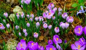 Il croco di fioritura fiorisce la macro Immagine Stock