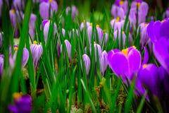 Il croco di fioritura fiorisce la macro Immagini Stock Libere da Diritti