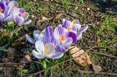 Il croco di zafferano fiorisce i fiori Fotografia Stock