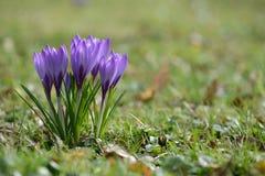 Il croco fiorisce in erba, Cornovaglia, Regno Unito Fotografia Stock