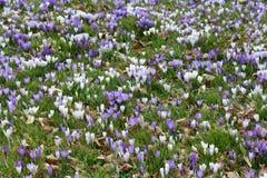 Il croco fiorisce in erba, Cornovaglia, Regno Unito Fotografie Stock