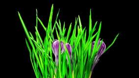 Il croco fiorisce la fioritura e muore, al rallentatore con l'alfa canale archivi video
