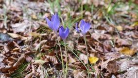 Il croco viola di autunno fiorisce muoversi nel vento stock footage