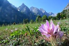 Il crocus sativus del Latino del campo di Shafran Fotografia Stock