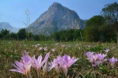 Il crocus sativus del Latino del campo di Shafran Immagine Stock Libera da Diritti