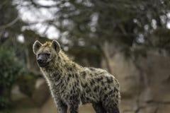 Il crocuta macchiato del Crocuta dell'iena Fotografia Stock