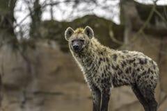 Il crocuta macchiato del Crocuta dell'iena Immagini Stock
