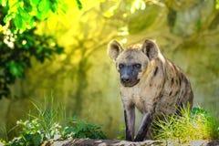 Il crocuta macchiato del Crocuta dell'iena, anche conosciuto la risata hyen Fotografia Stock Libera da Diritti