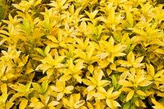 Il Croton pianta le foglie  Fotografia Stock Libera da Diritti
