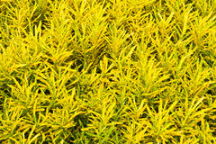 Il Croton pianta le foglie Fotografie Stock Libere da Diritti