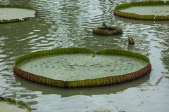 Il cruziana di Victoria in natura è il più grande loto fotografia stock