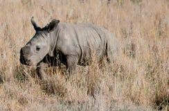 Il cub del rinoceronte Fotografia Stock Libera da Diritti