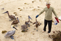 Il cubano alimenta i pellicani sulla spiaggia Fotografie Stock