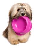 Il cucciolo affamato di Bichon Havanese tiene una ciotola dell'alimento nella sua bocca Immagine Stock Libera da Diritti