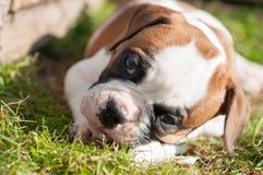 Il cucciolo americano del bulldog sta mangiando una zampa del pollo sulla natura Immagine Stock Libera da Diritti