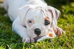 Il cucciolo americano del bulldog sta mangiando una zampa del pollo sulla natura Fotografie Stock Libere da Diritti
