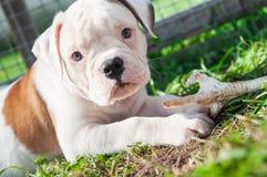 Il cucciolo americano del bulldog sta mangiando una zampa del pollo sulla natura Immagine Stock