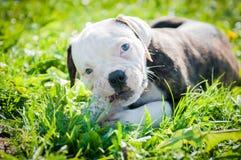 Il cucciolo americano del bulldog sta mangiando una zampa del pollo sulla natura Fotografia Stock Libera da Diritti