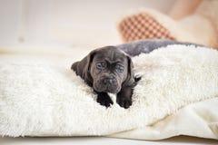 Il cucciolo Cane Corso si trova su un letto Immagine Stock