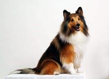 Il cucciolo che propone una razza Immagini Stock