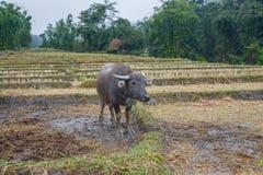 Il cucciolo con il bufalo nei terrazzi del riso sistema in Mae Klang Luang, Chiang Mai, Tailandia Fotografia Stock
