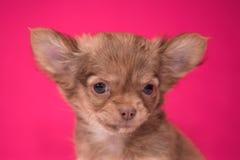 Il cucciolo dai capelli rossi sveglio della chihuahua si siede su un fondo cremisi immagini stock