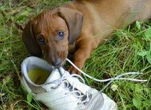 Il cucciolo del bassotto tedesco gioca con la scarpa fuori in erba Immagini Stock