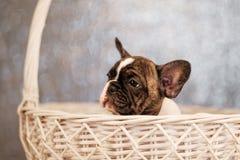 Il cucciolo del bulldog francese sta sedendo in un canestro fotografia stock