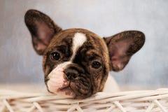 Il cucciolo del bulldog francese sta sedendo in un canestro immagine stock
