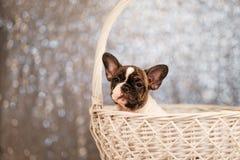 Il cucciolo del bulldog francese sta sedendo in un canestro fotografie stock