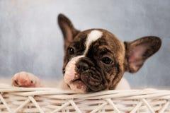 Il cucciolo del bulldog francese sta sedendo in un canestro immagine stock libera da diritti