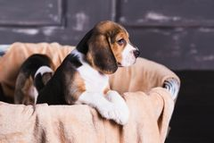 Il cucciolo del cane da lepre si siede la merce nel carrello fotografie stock