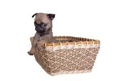Il cucciolo del carlino in un canestro fotografia stock