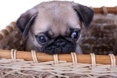 Il cucciolo del carlino in un canestro fotografie stock libere da diritti