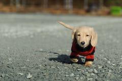 Il cucciolo del Dachshund cammina verso la macchina fotografica Immagini Stock