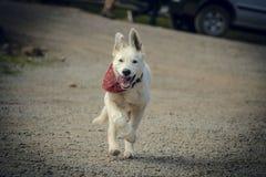 Il cucciolo del documentalista funziona al proprietario fotografie stock
