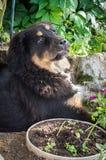 Il cucciolo del mastino tibetano Fotografia Stock Libera da Diritti