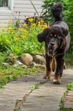 Il cucciolo del mastino tibetano Immagini Stock