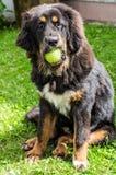 Il cucciolo del mastino tibetano Fotografie Stock Libere da Diritti