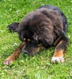 Il cucciolo del mastino tibetano Immagini Stock Libere da Diritti