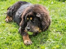 Il cucciolo del mastino tibetano Fotografie Stock