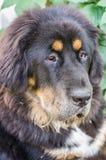Il cucciolo del mastino tibetano Immagine Stock