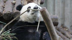 Il cucciolo del panda sta imparando come mangiare le foglie di bambù, Chengdu, Cina video d archivio
