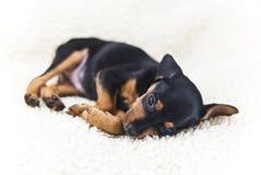 Il cucciolo del Pinscher miniatura immagine stock